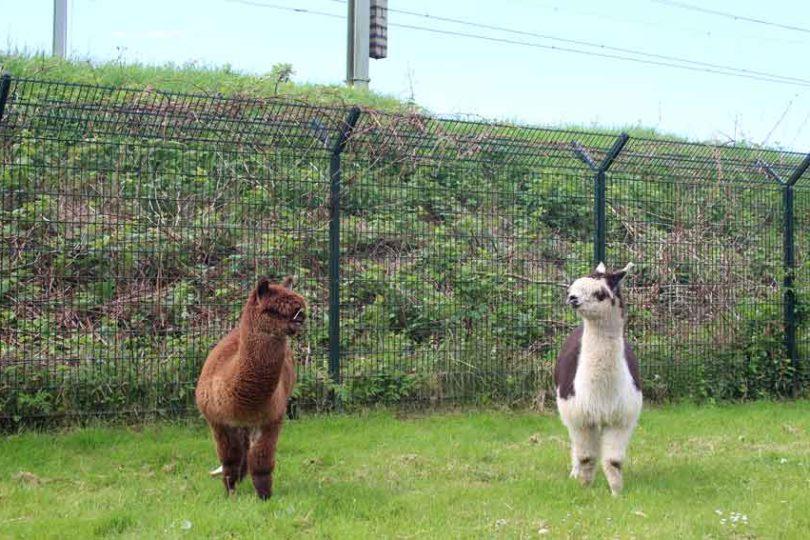 Alpaca-trweeling
